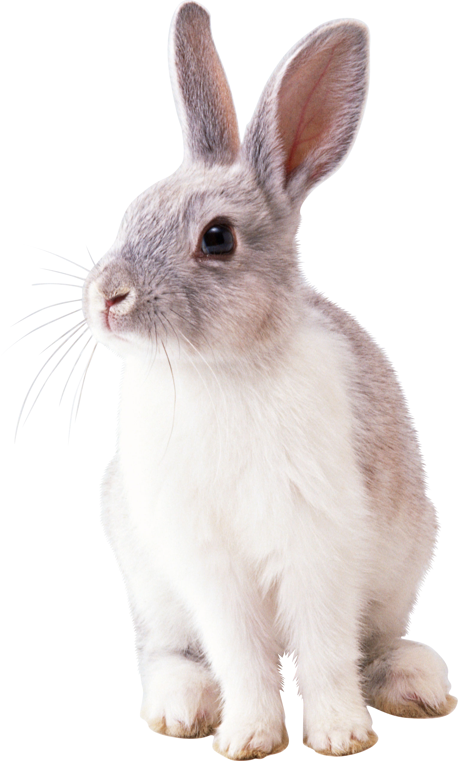 Twenty five isolated stock. Clipart bunny cottontail rabbit