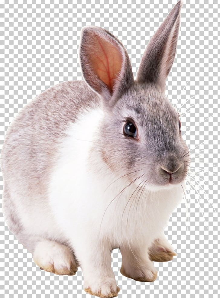 Clipart bunny cottontail rabbit. Easter european png