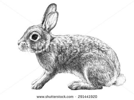 Illustration hand drawn pencil. Clipart bunny cottontail rabbit