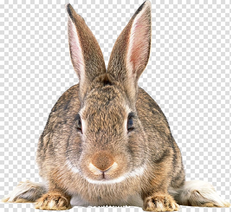 Clipart bunny cottontail rabbit. Easter hare gray transparent