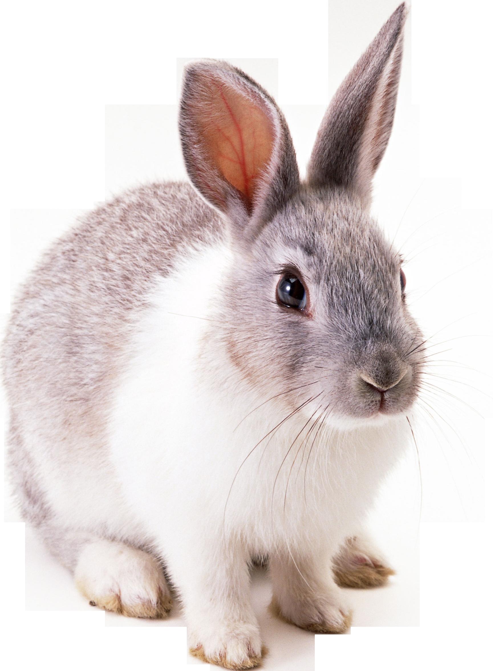 Clipart bunny couple. Rabbit hd png transparent