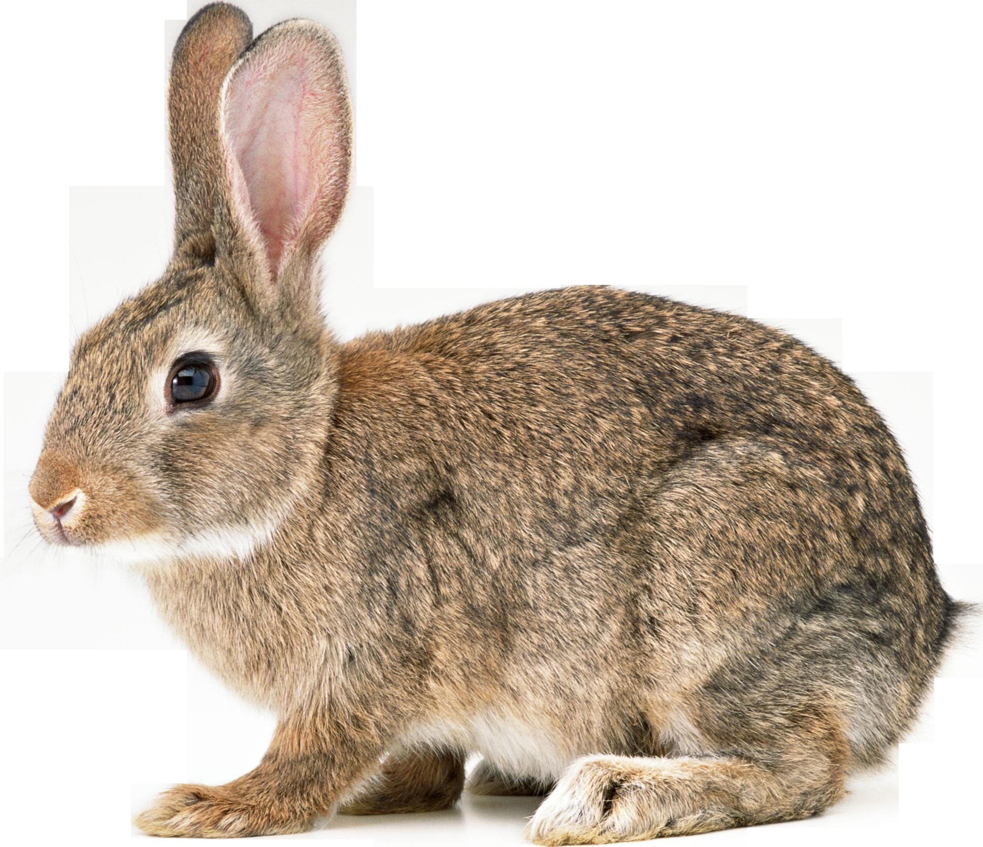 Clipart bunny forest. Rabbit png love pinterest