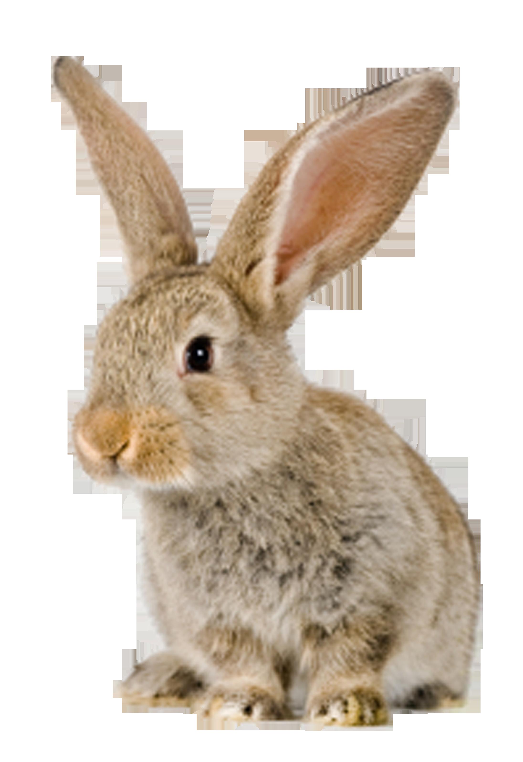 Konijn pinterest rabbit. Woodland clipart wildlife british