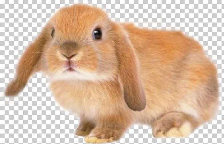Silver fox rabbit domestic. Clipart bunny holland lop