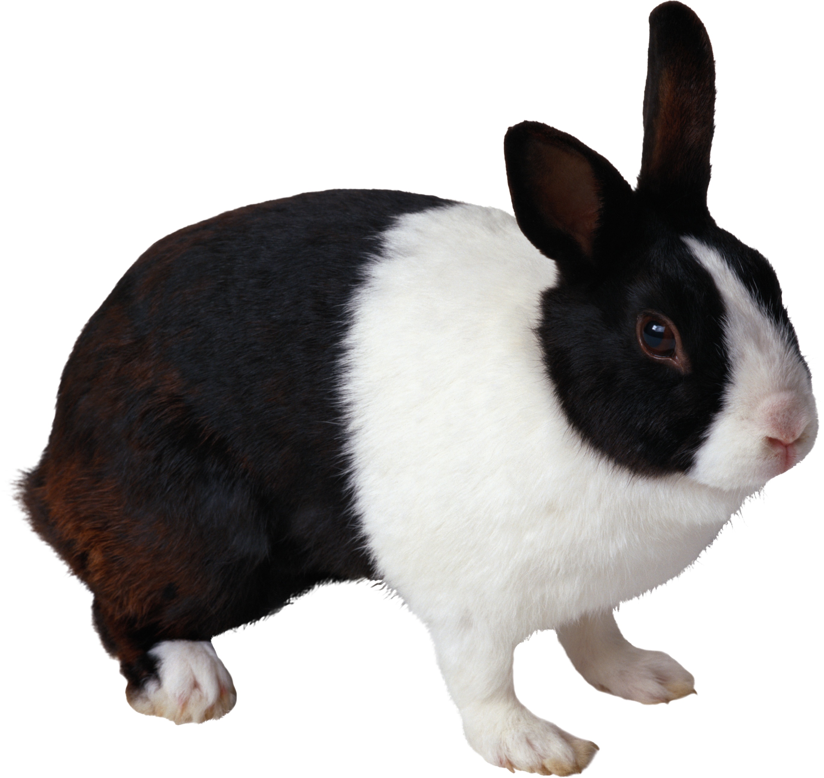Raised one such a. Clipart bunny solid