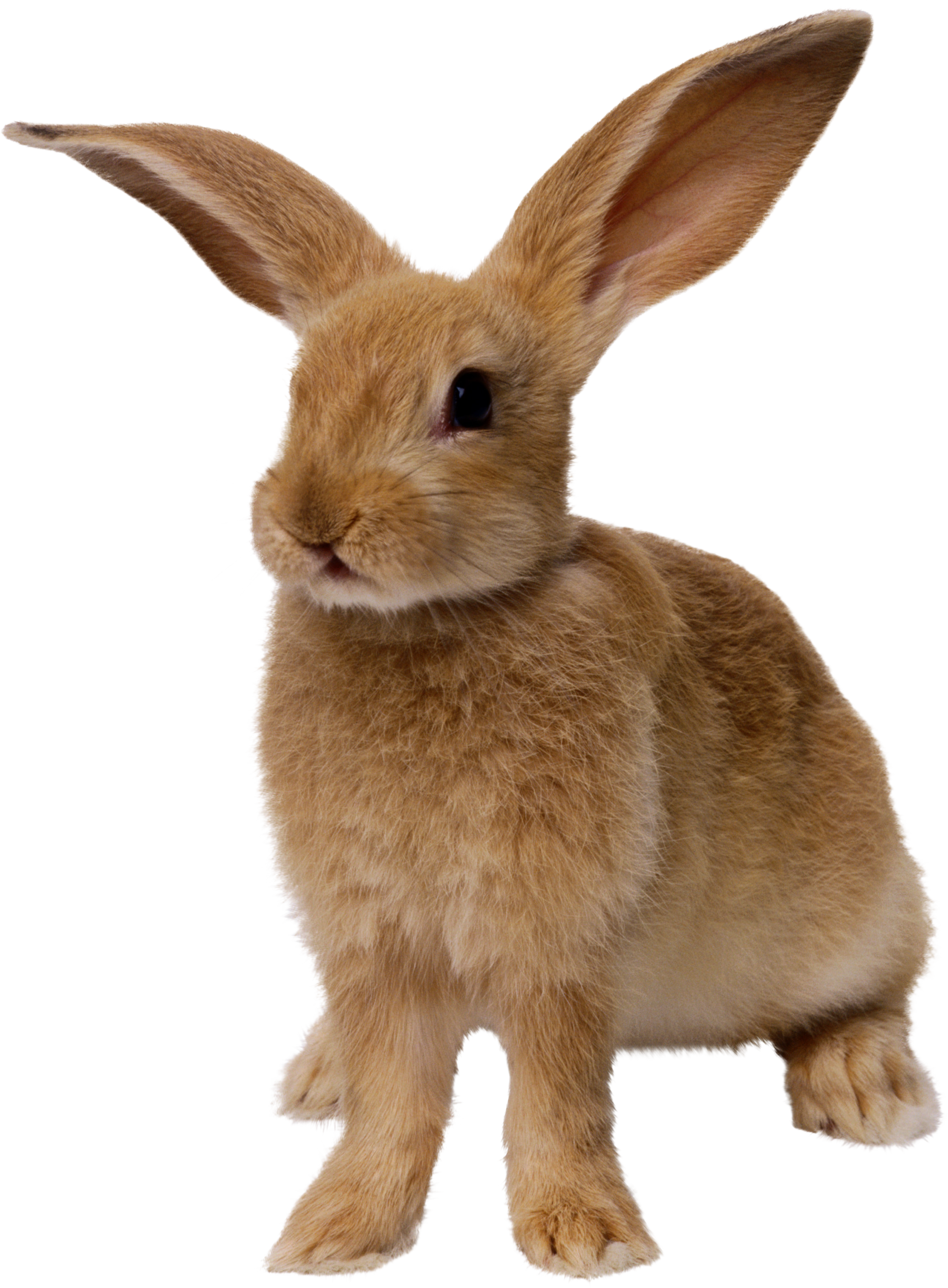 Rabbit png images free. Clipart bunny transparent background