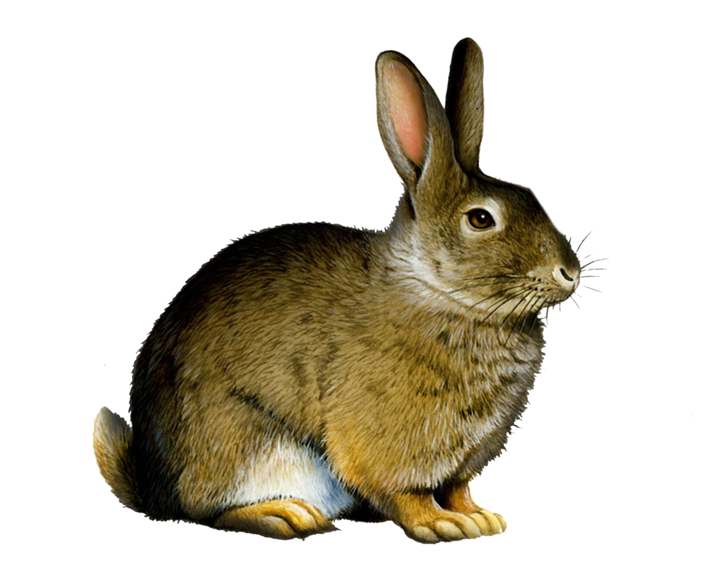 Clipart bunny wild rabbit. Png by moonglowlilly on