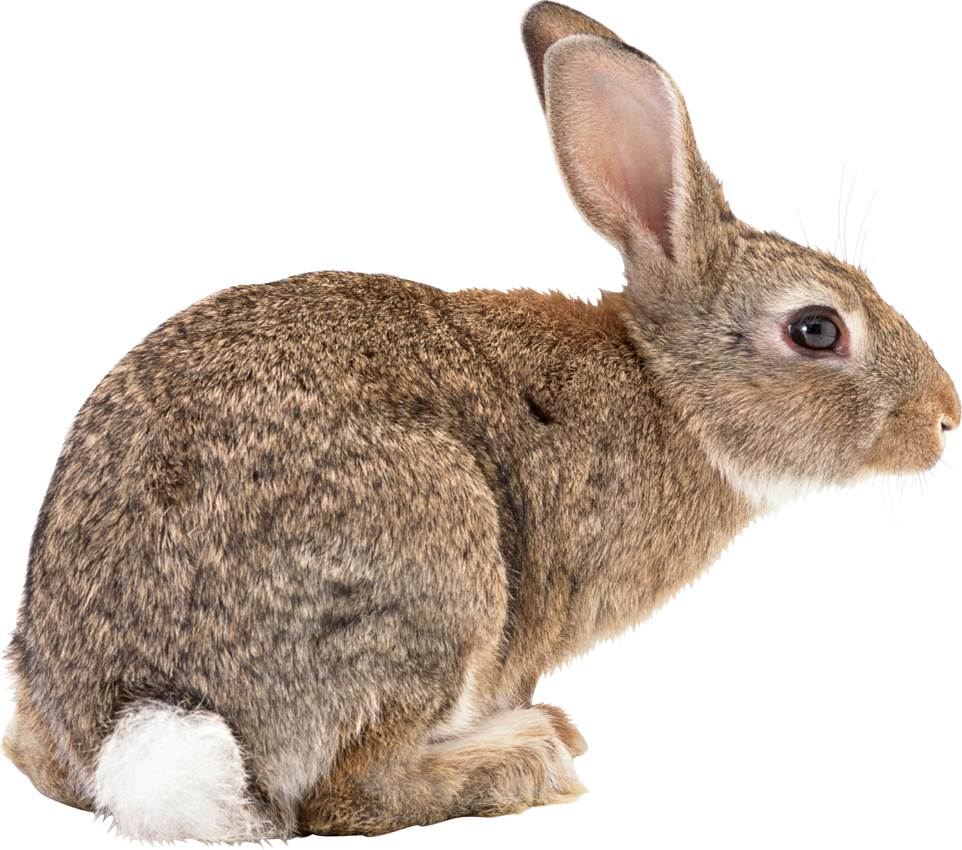 Clipart bunny wild rabbit.