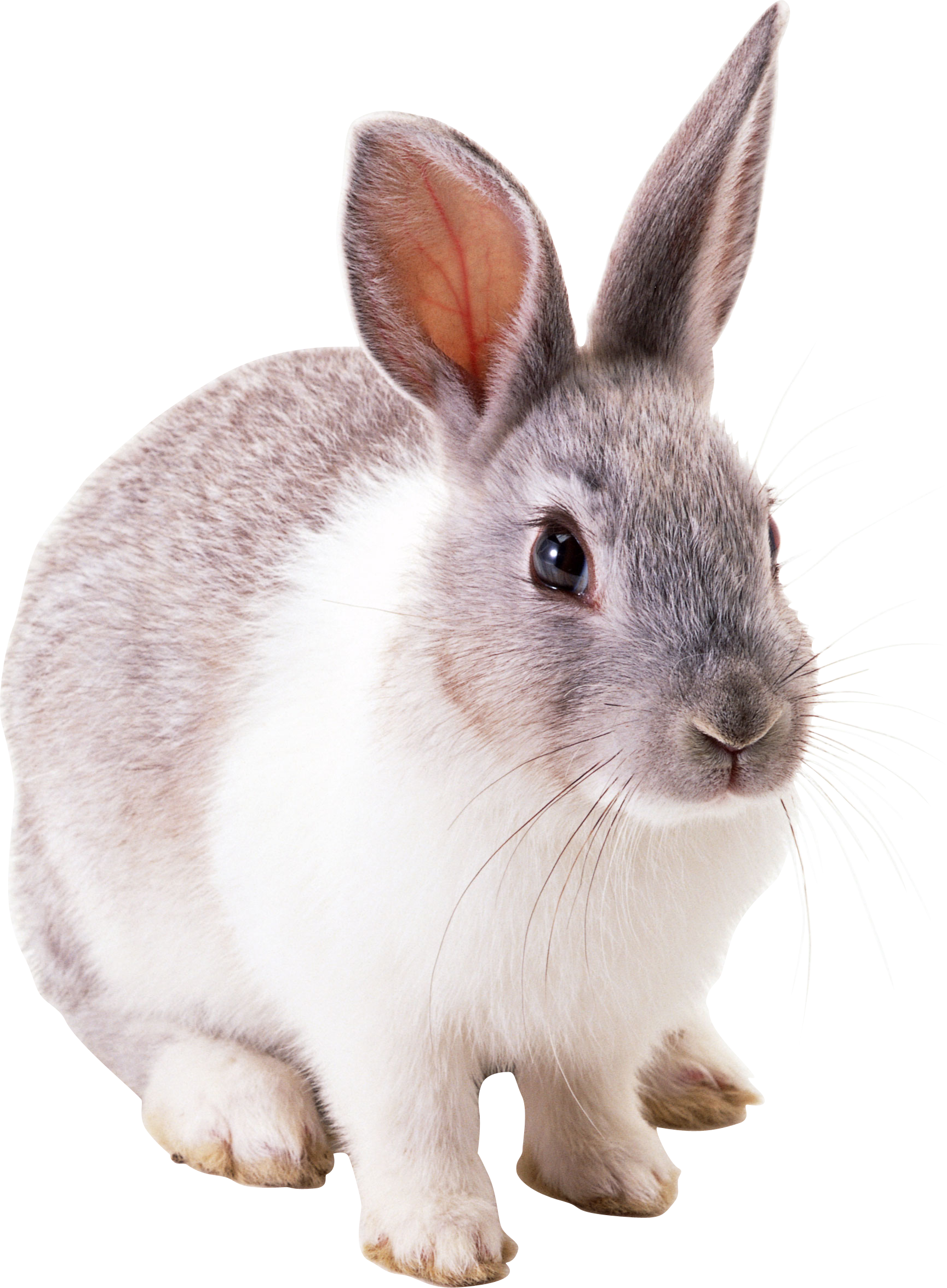 Png k pinterest and. Clipart bunny wild rabbit