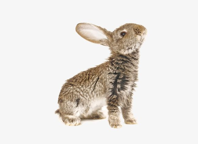 Png animal animals bunnies. Clipart bunny wild rabbit