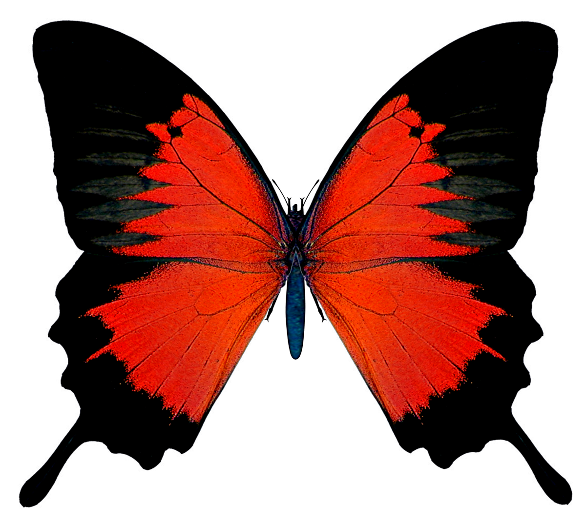 Black and red png. Clipart butterfly burgundy