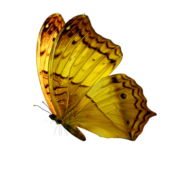 Clipart butterfly enchanted. Image php gele tubes