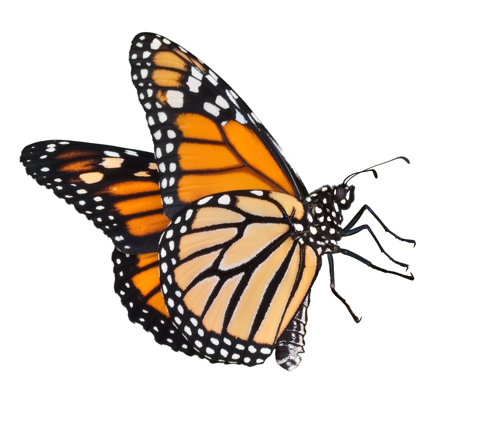 Butterfly png images. Transparent pluspng butterflies image