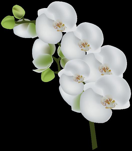 Daffodil orchid