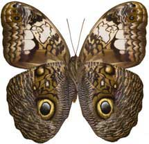 Clipart owl butterfly.