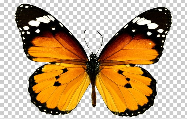 Clipart butterfly plain. Monarch tiger milkweed butterflies