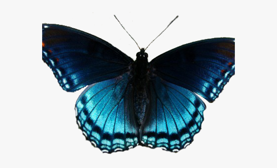 Insect red spotted purple. Clipart butterfly realistic
