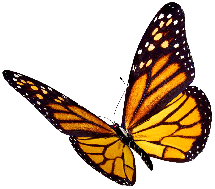 Clipart butterfly realistic. Monarch at getdrawings com