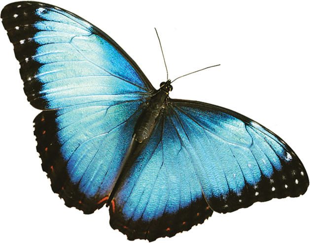 The annual fred dorothy. Clipart butterfly translucent