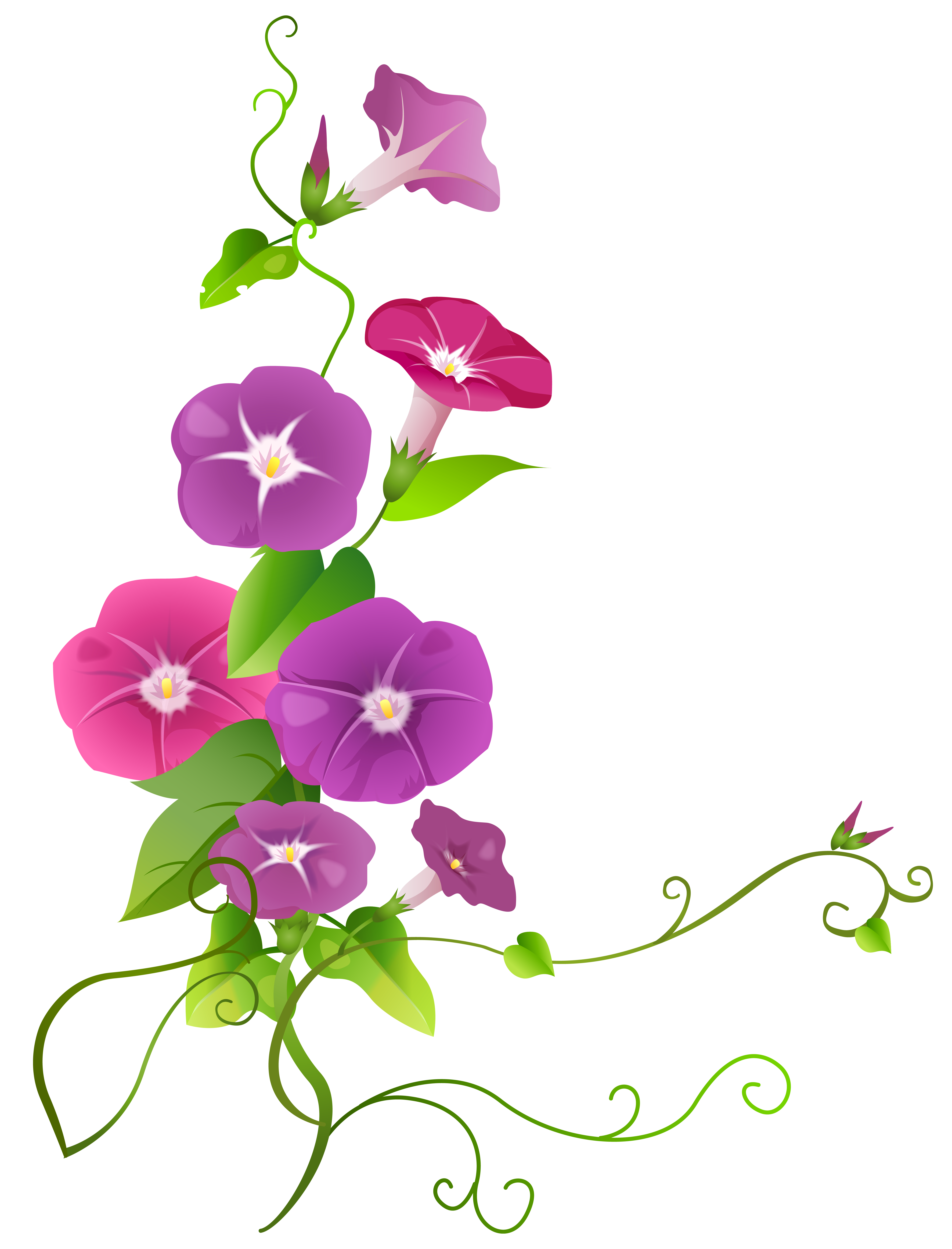Flower transparent png. Ipomoea clip art image