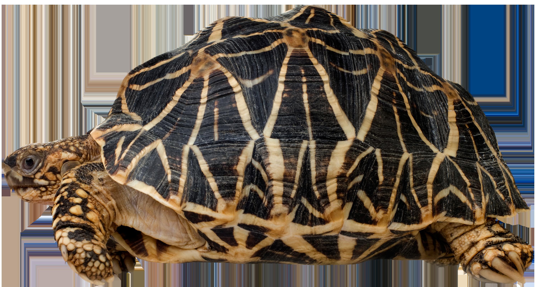 Pet clipart green turtle. Png clip art best