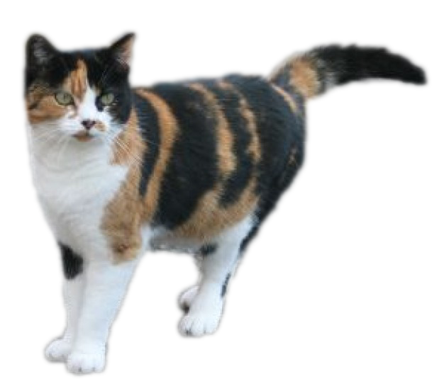 Cat google search important. Kittens clipart calico