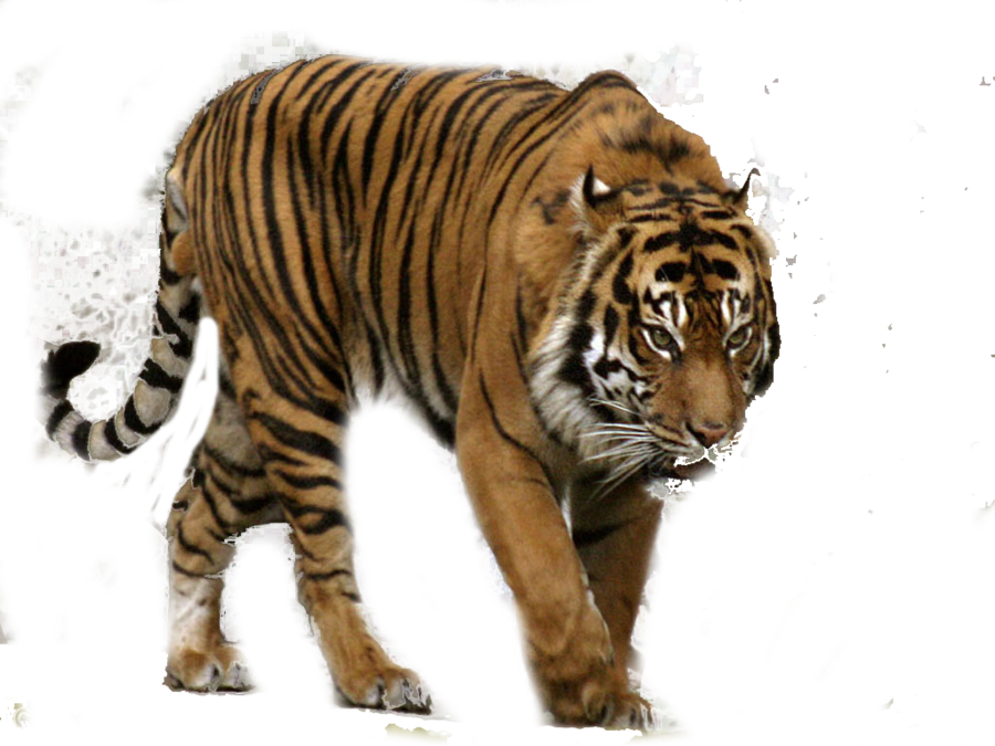 Tiger png images the. Hunting clipart transparent background