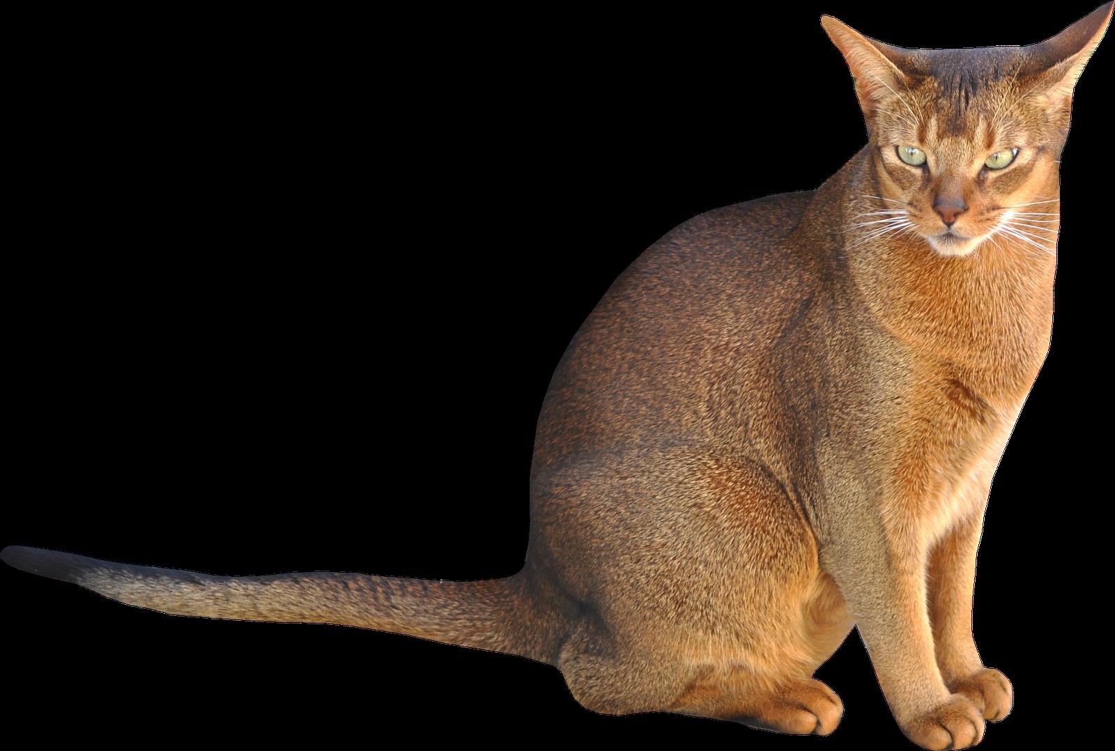 Clipart cat transparent background. Sitting png image purepng