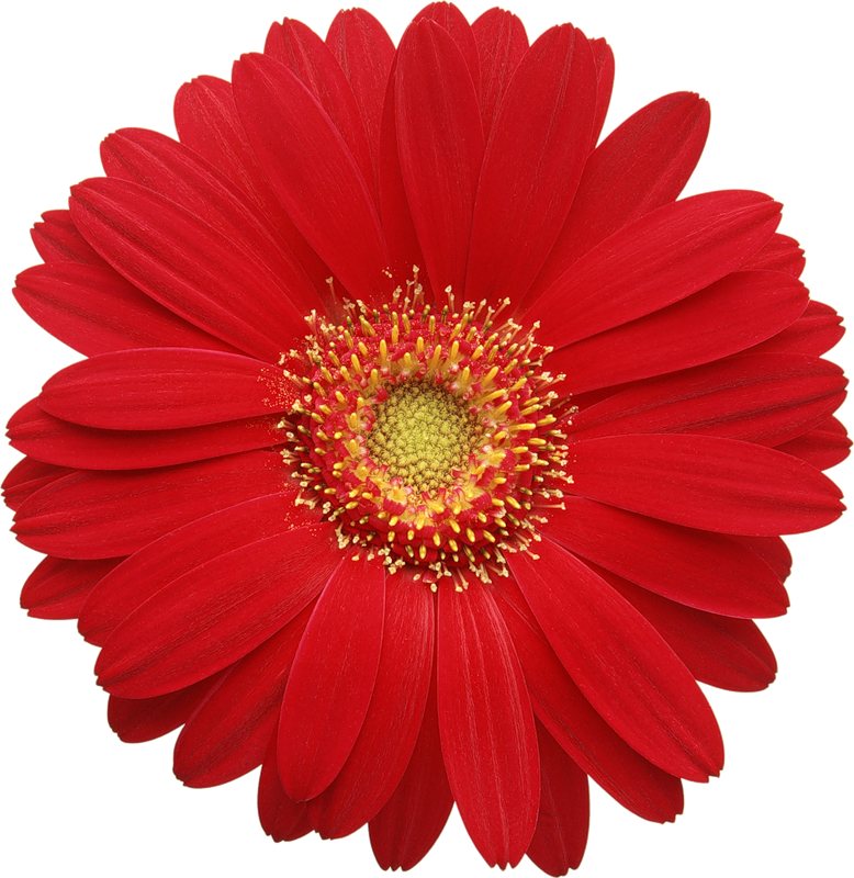 Poppy clipart daisy. Red gerber cards d