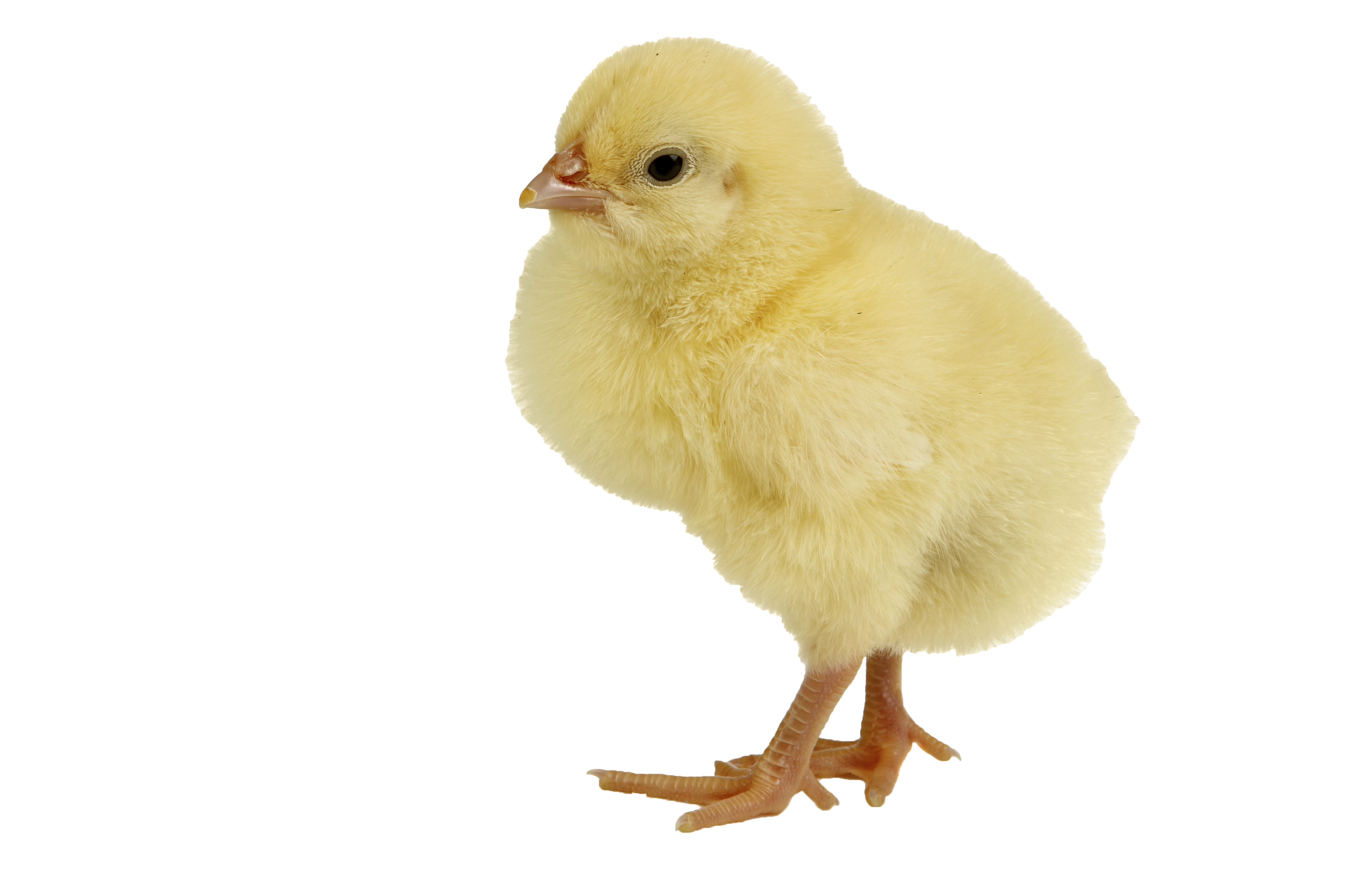 Chicken transparent png pictures. Hen clipart baby chick