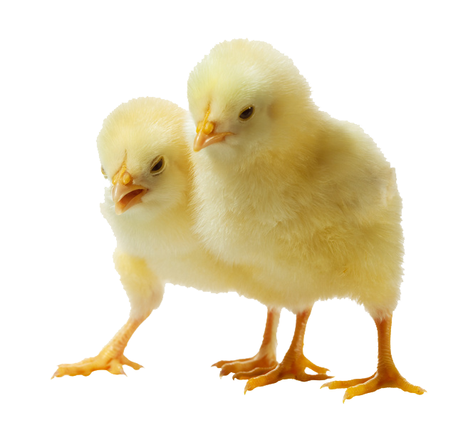 Hen clipart baby chick. Chicken png mart
