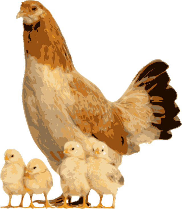 Hen clipart live chicken. Quality clip art of