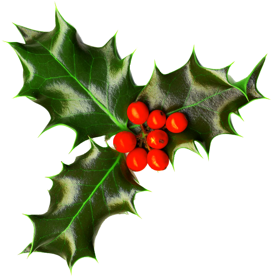 Christmas png images free. Holly clipart holly branch