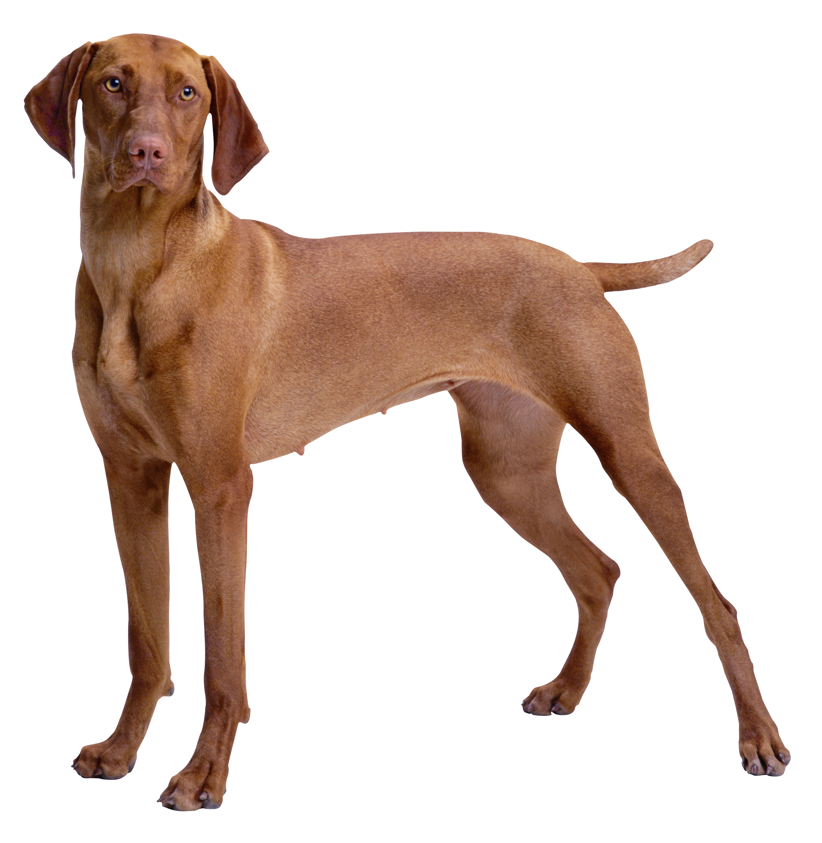 Dogs clipart tree. Brown dog png best