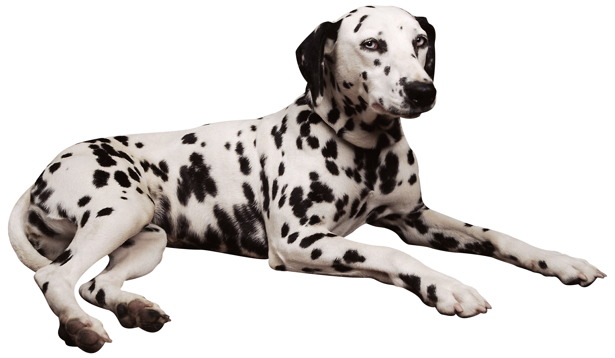 Pawprint clipart dalmatian. Png best web