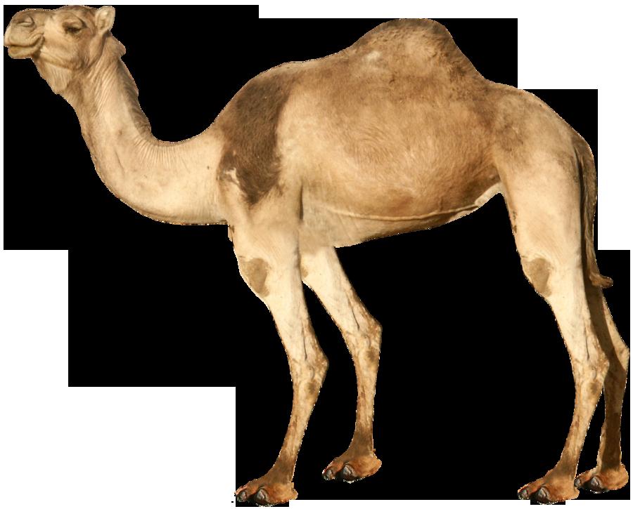 Desert clipart desert arabian. Camel isolated stock photo