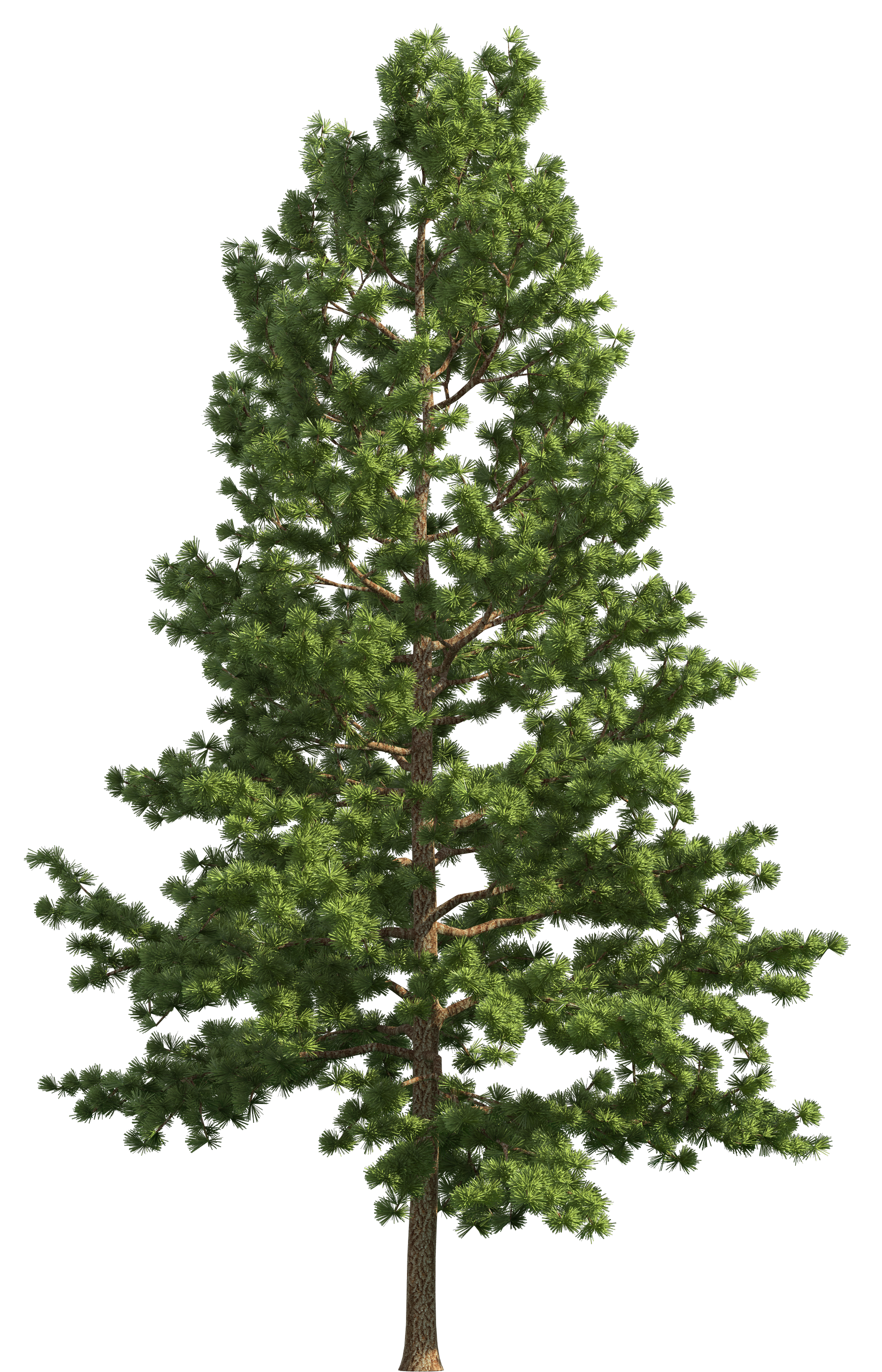 Realistic tree png clip. Clipart trees pine