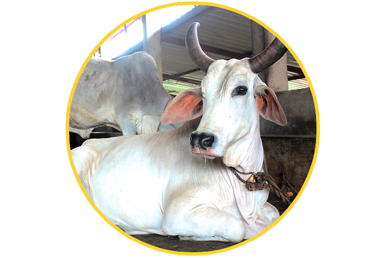 Cow clipart cow indian. Save cows kriya yoga