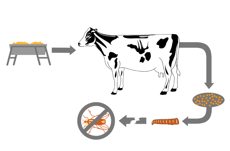 Feed through fly control. Cow clipart stable
