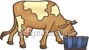 Dairy taking a drink. Clipart cow drinking