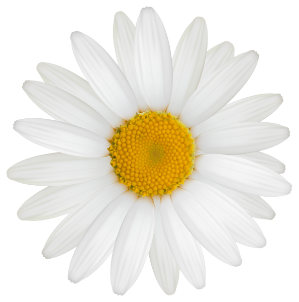 Clipart image photography pinterest. Daisy flower png