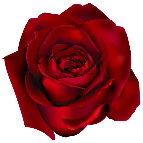 Transparent red rose png. Wet clipart water flower