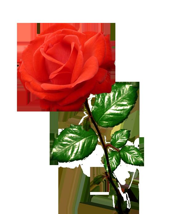 Red long stalk pinterest. Rose clipart shape