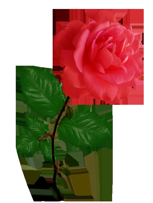 Red . Rose clipart peach rose