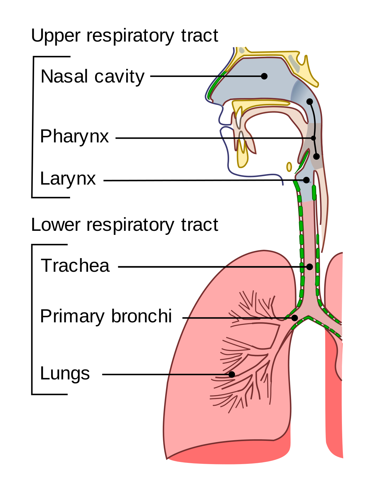Upper tract wikipedia . Cold clipart respiratory infection