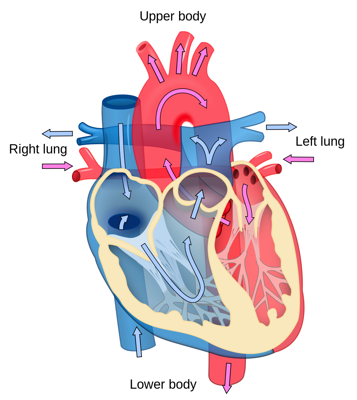 Tired clipart rapid breathing. Cardiology wikipedia