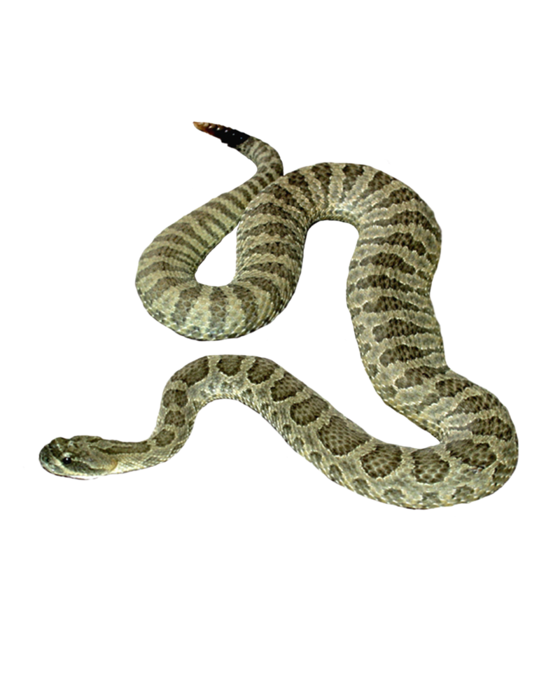 Transparent transparentpng . Snake clipart rattlesnake