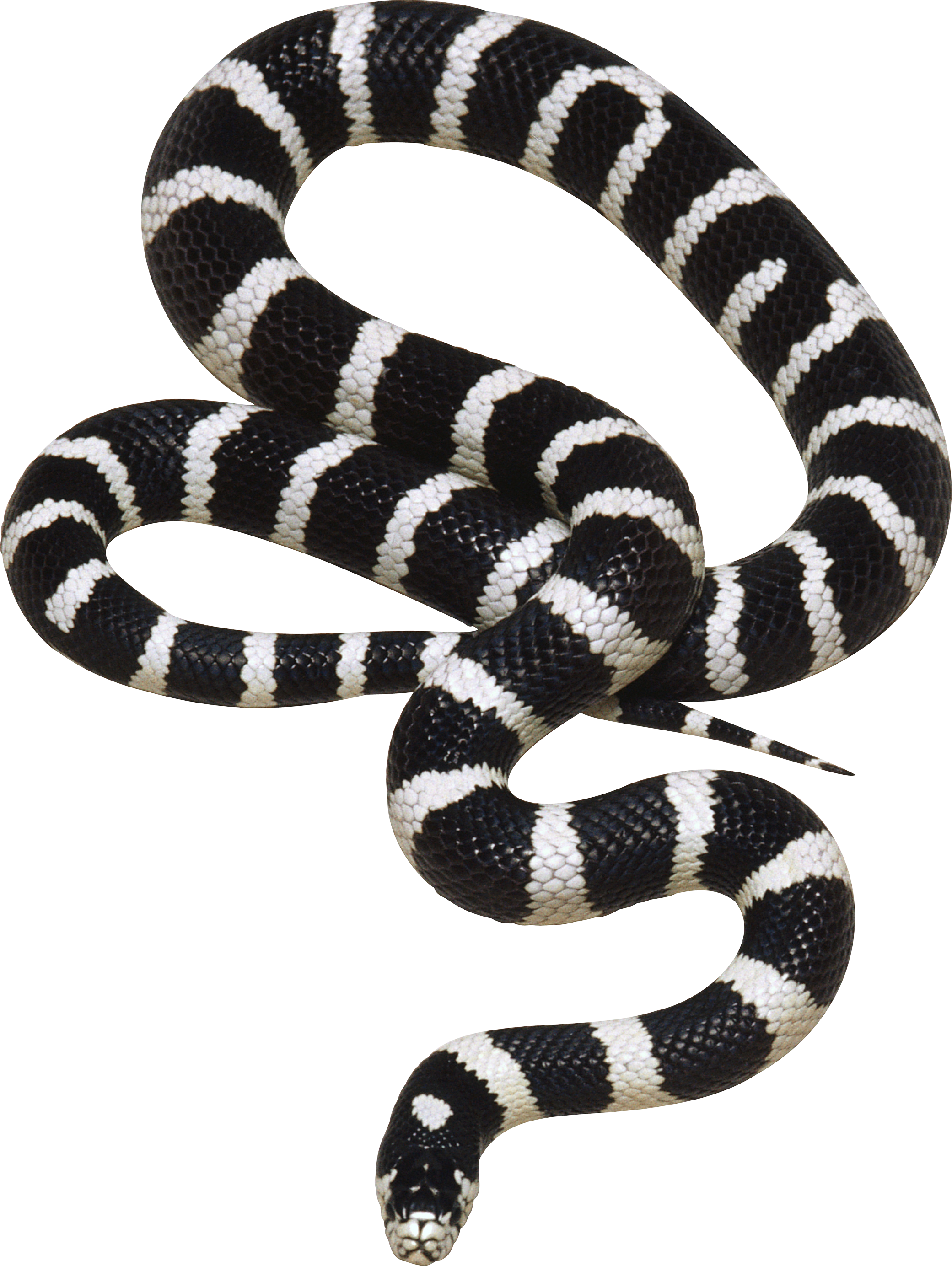 One isolated stock photo. Clipart snake king snake