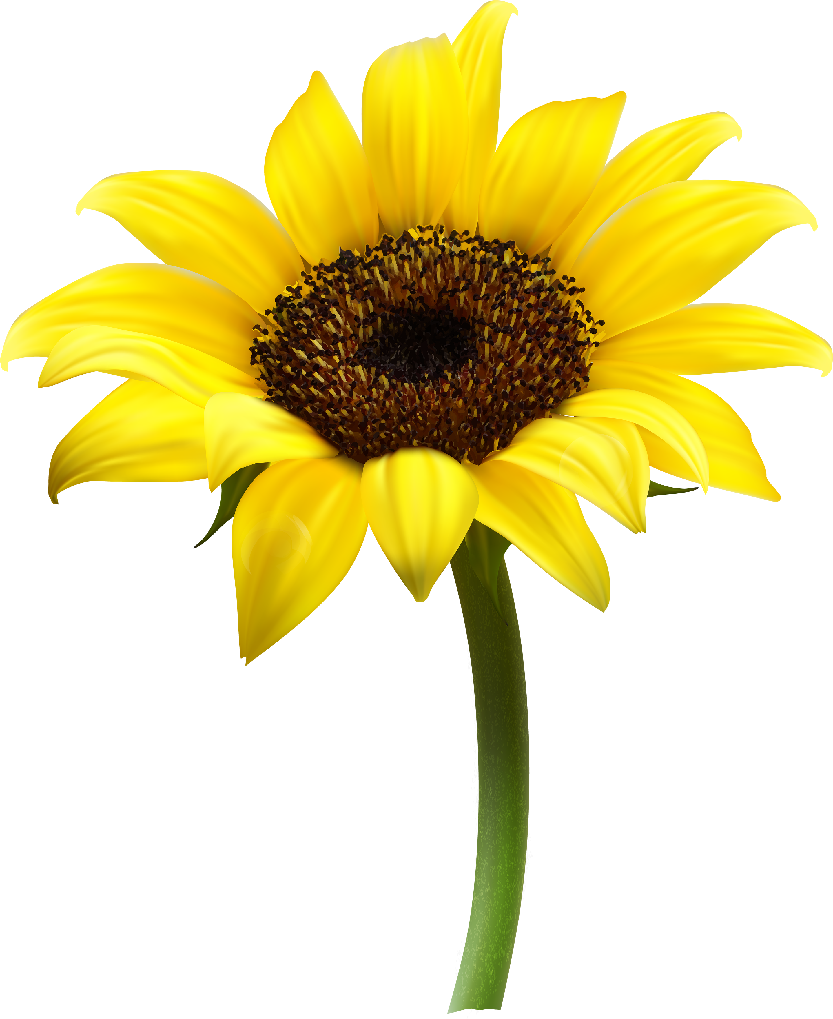Images free download. Sunflower vector png