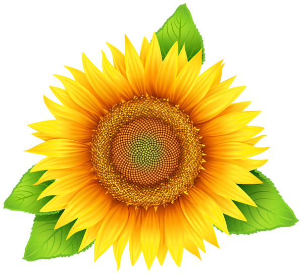 Sunflower png image flower. Hydrangea clipart high resolution